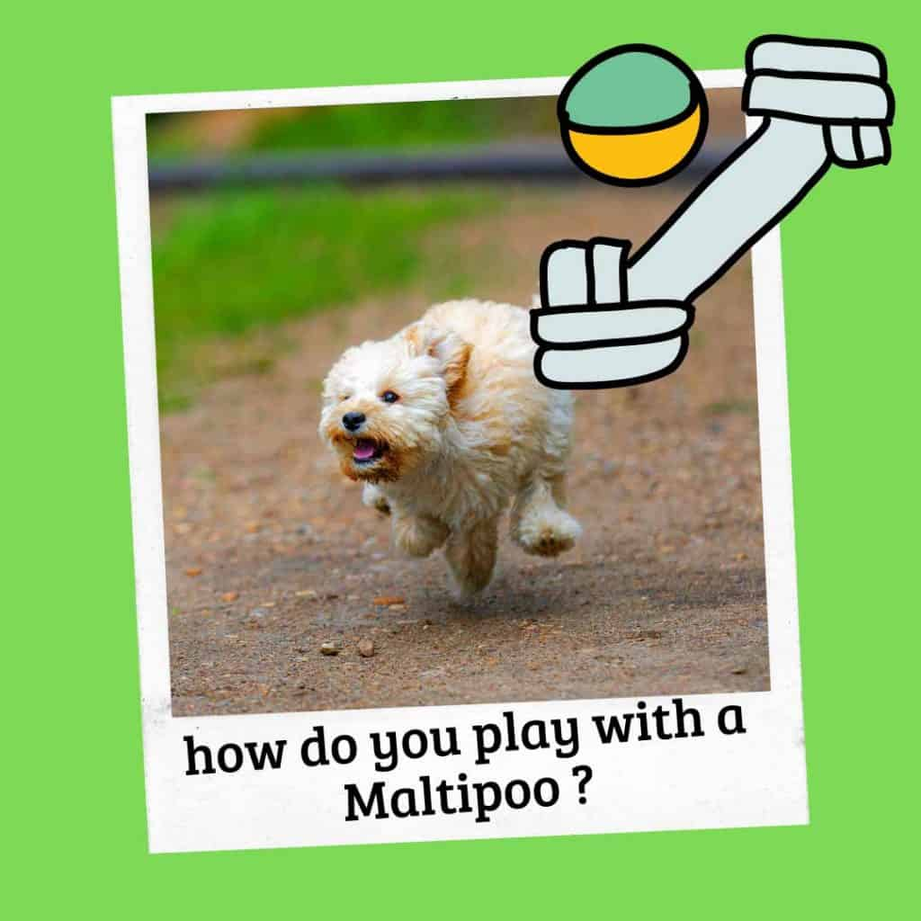 how do you play with a maltipoo