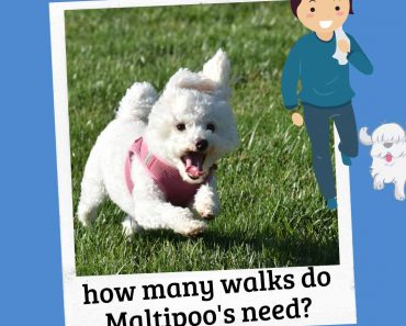 how many walks for a maltipoo