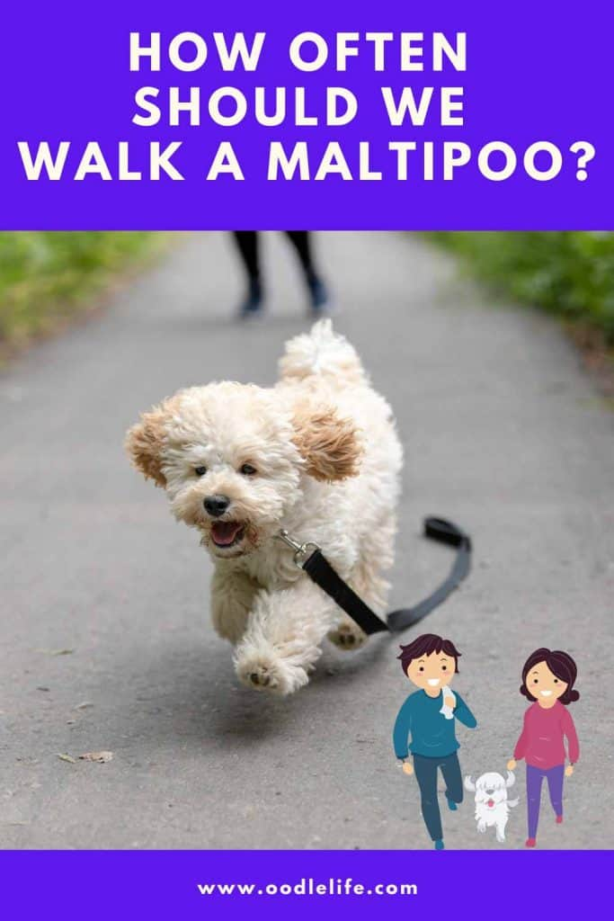 how often to walk a maltipoo