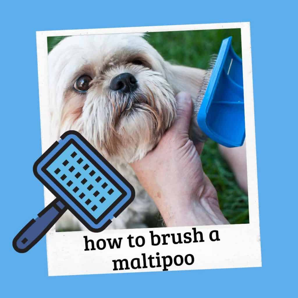 how to brush a maltipoo hair