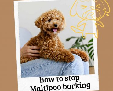 stop maltipoo from barking