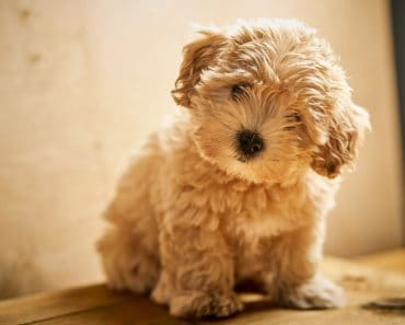 cream wavy maltipoo puppy