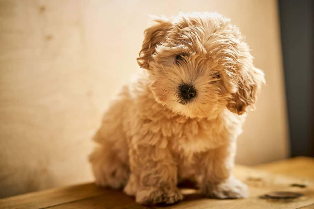 cream wavy maltipoo puppy