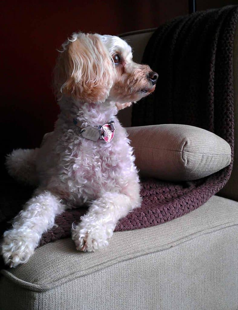 maltipoo model dog cute