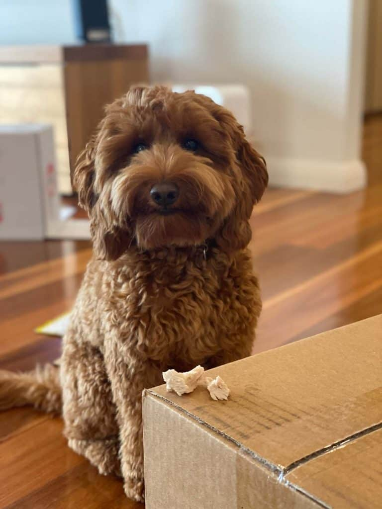 mini labradoodle puppy trained to leave food