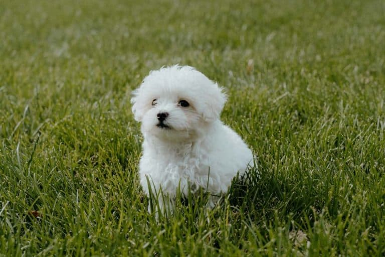How Many Times A Day Should A Maltipoo Poop – Complete Healthy Poop Info