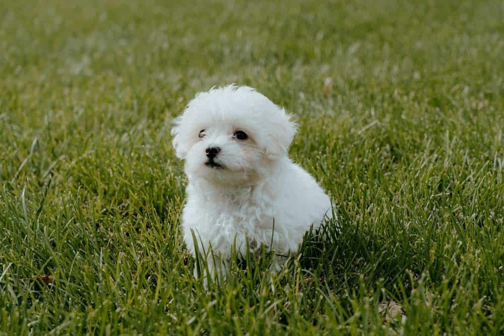 maltipoo puppy sit grass