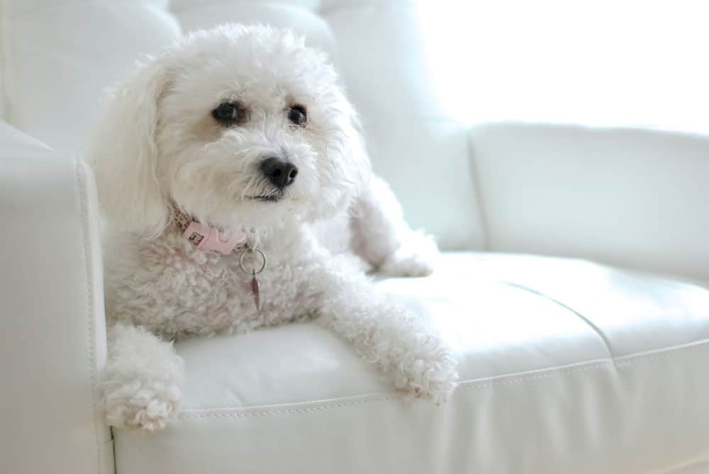 white maltipoo dog sitting on couch