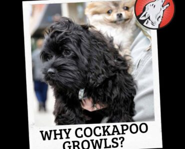 why do cockapoos growl