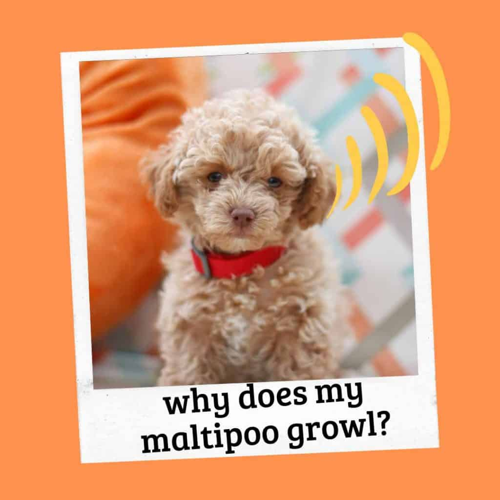 why does my maltipoo growl