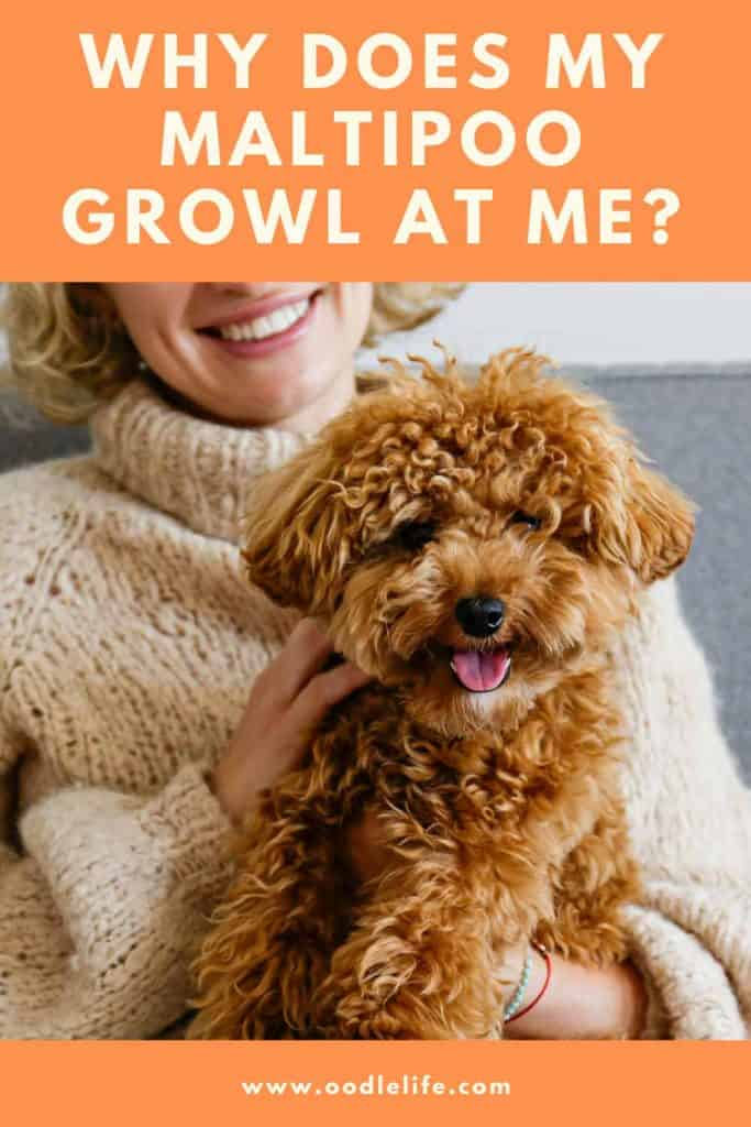 why does my maltipoo growl at me