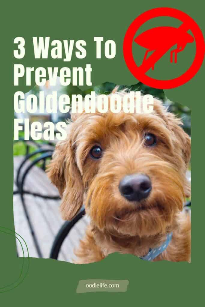 best flea medication for goldendoodles