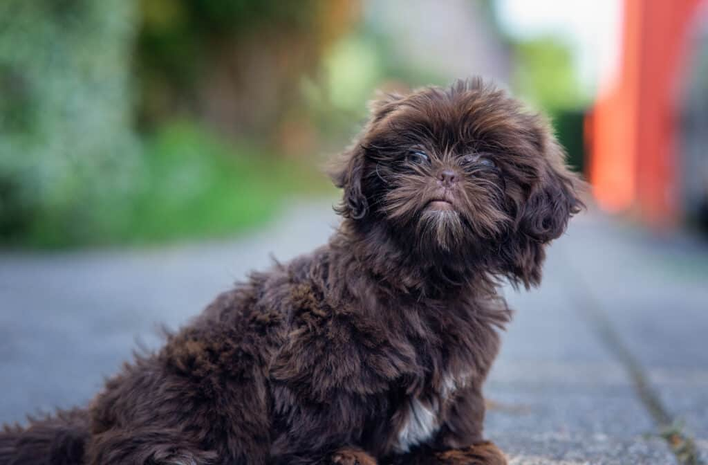 chocolate shih-poo puppy