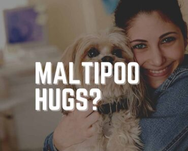 Do Maltipoos Like to be Held? (Training Guide) 4