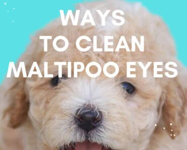 how to clean maltipoo eyes