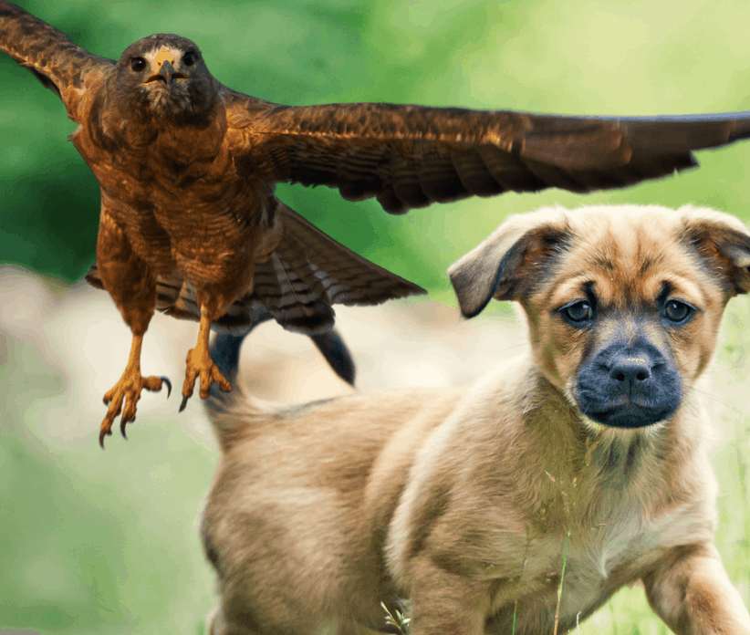 How To Protect Small Dogs From Hawks [and Owls] 2