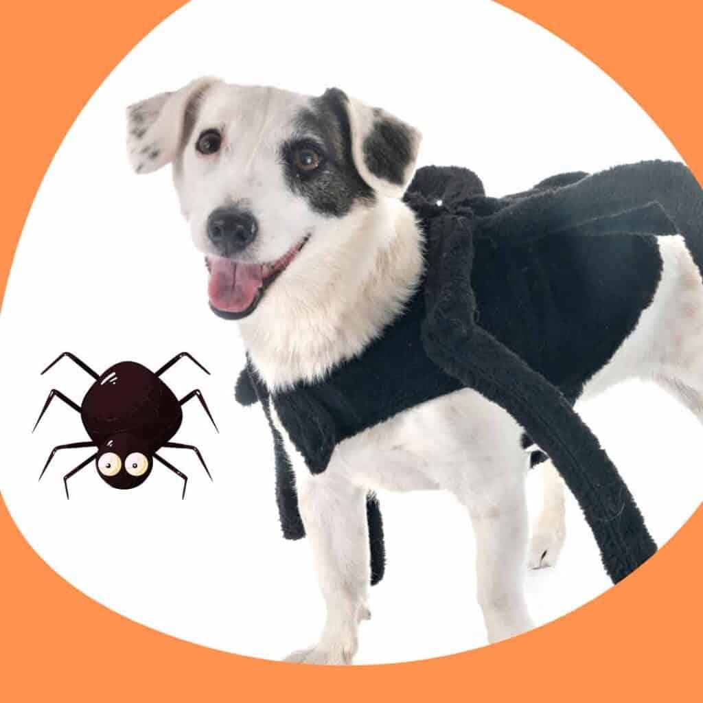 small dog spider costume