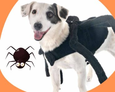 small dog spider costume