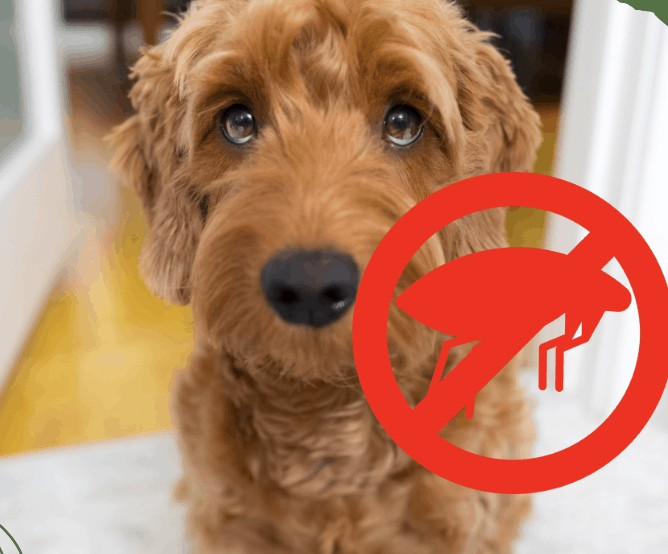 What is the Best Flea Medication for Goldendoodle Dogs? (Top 3)