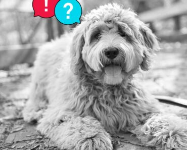 bad things about goldendoodles