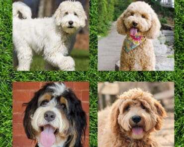 best poodle mixes for families
