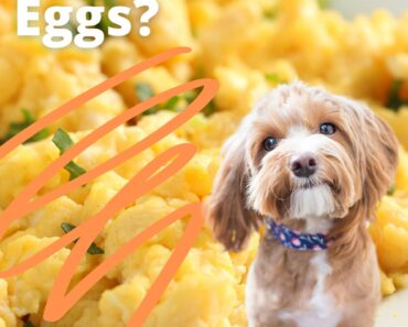 can dogs eat scrambled eggs