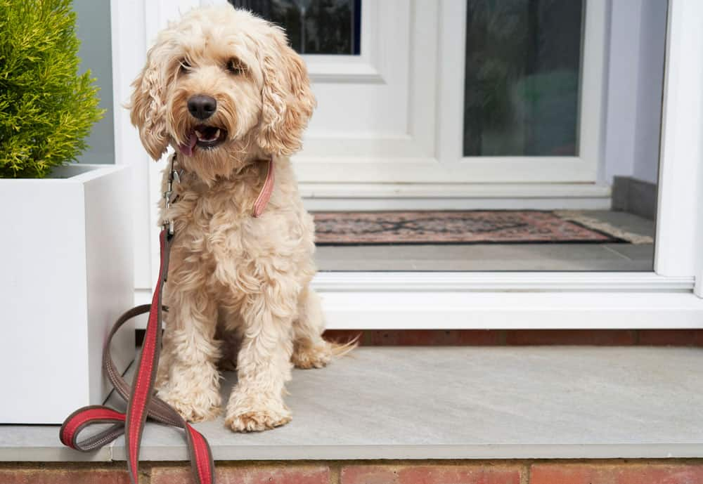 cockapoo puppy dog door