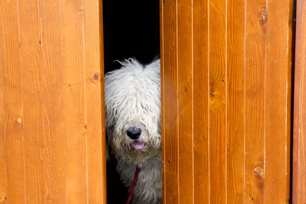 shaggy dog looking through door