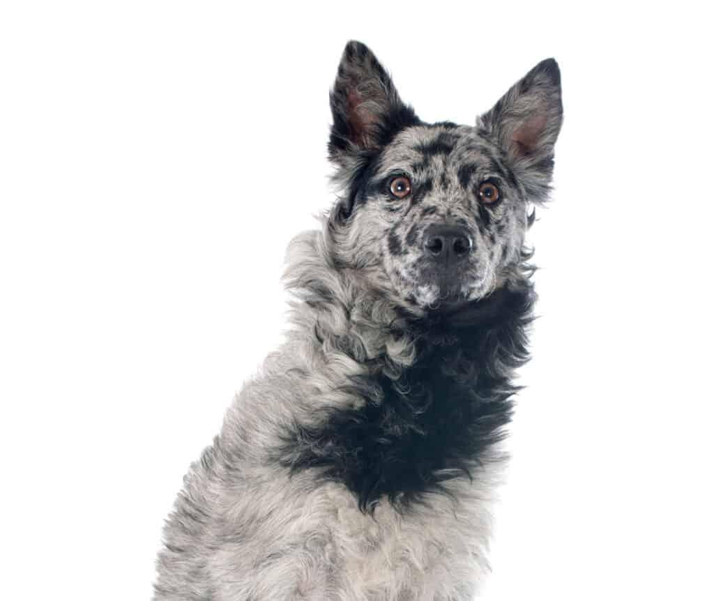 gray Hungarian dog