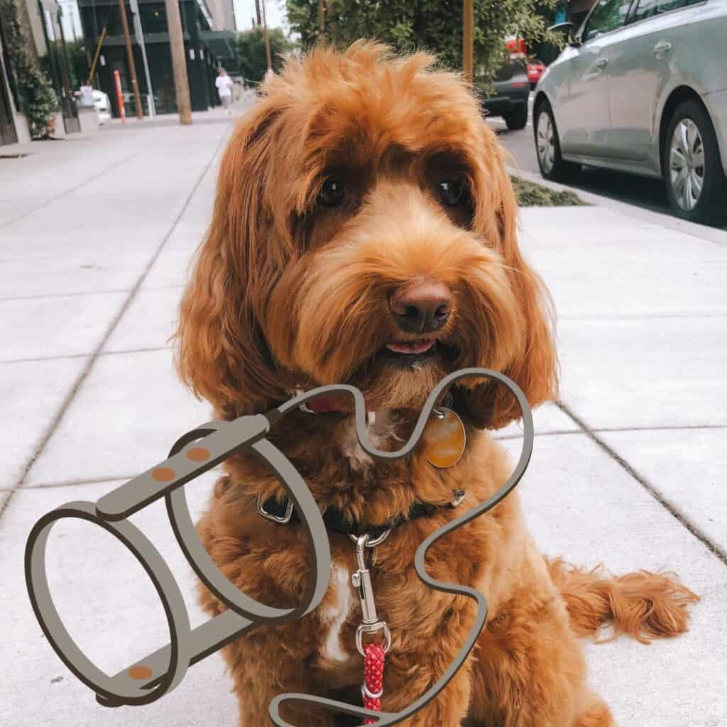 a labradoodle puppy and a dog harness