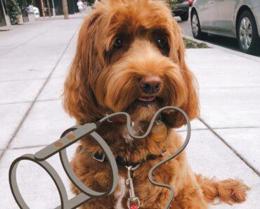 5 Best Dog Harness for Labradoodles 3