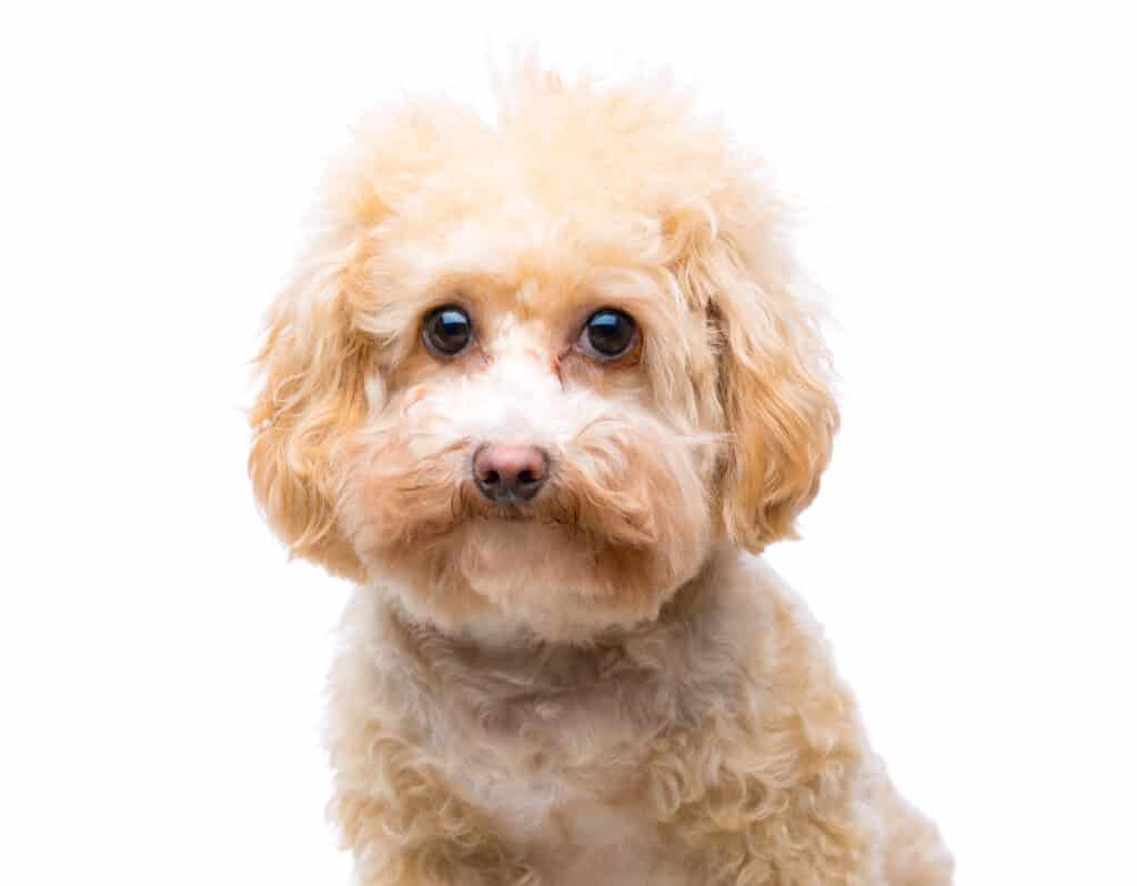 maltipoo white background
