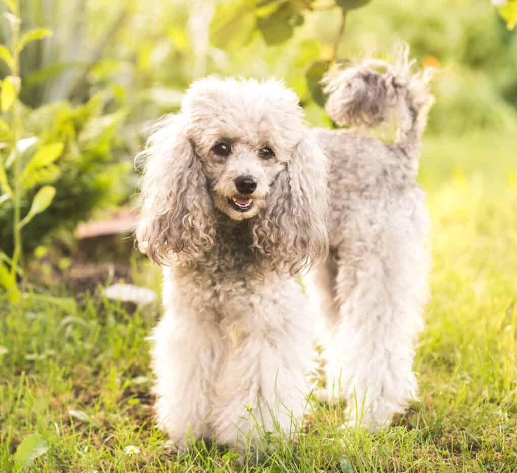a gray poodle in the grass outside