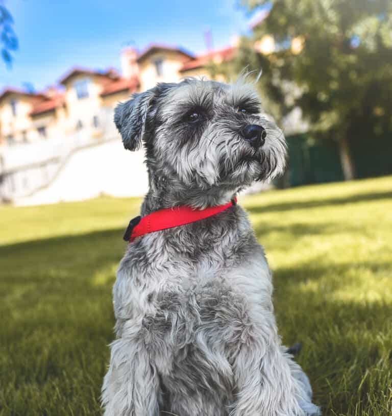35 Best Gray Dog Names (What Should I name my Gray Dog?)