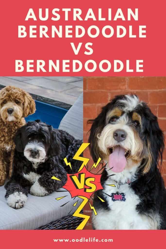 comparing Bernedoodles and Australian Bernedoodles