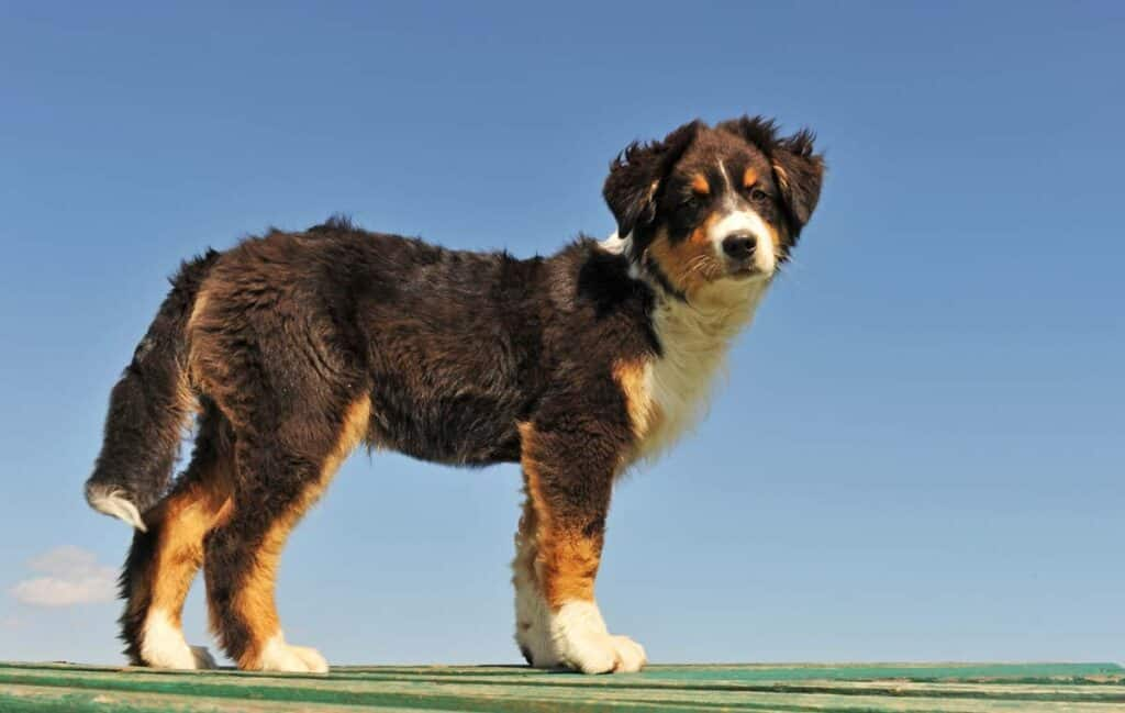 asutralian shepherd puppy with three color coat