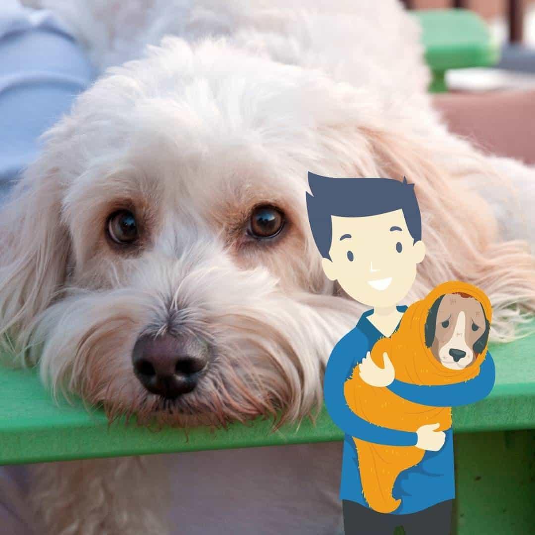 adopt a cockapoo