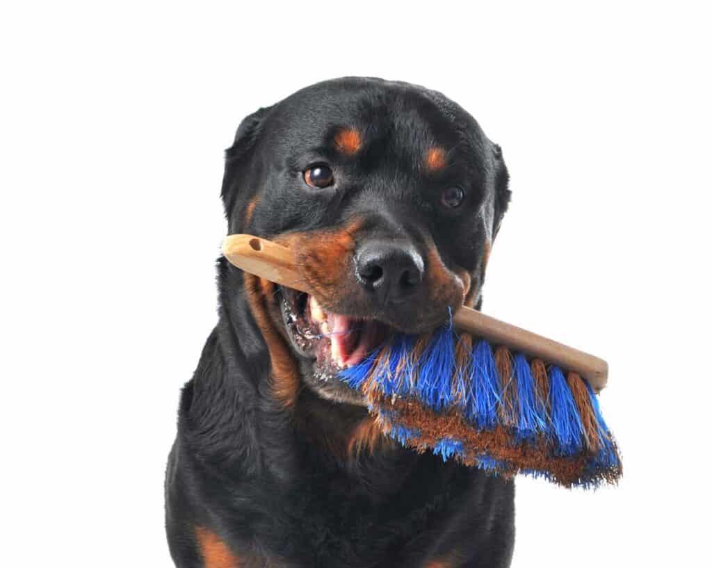 a Rottweiler with a dog hair brush