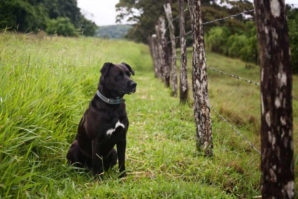 dog wearing collar in farmland