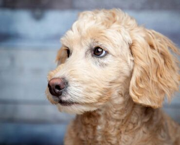 a mini goldendoodle