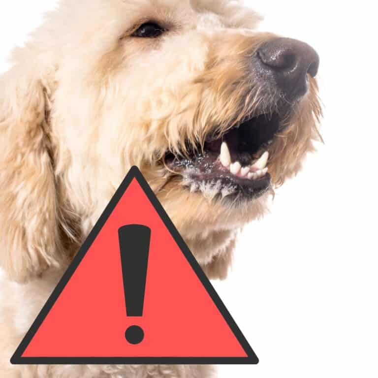 Are Goldendoodles Aggressive? (Safety Guide)