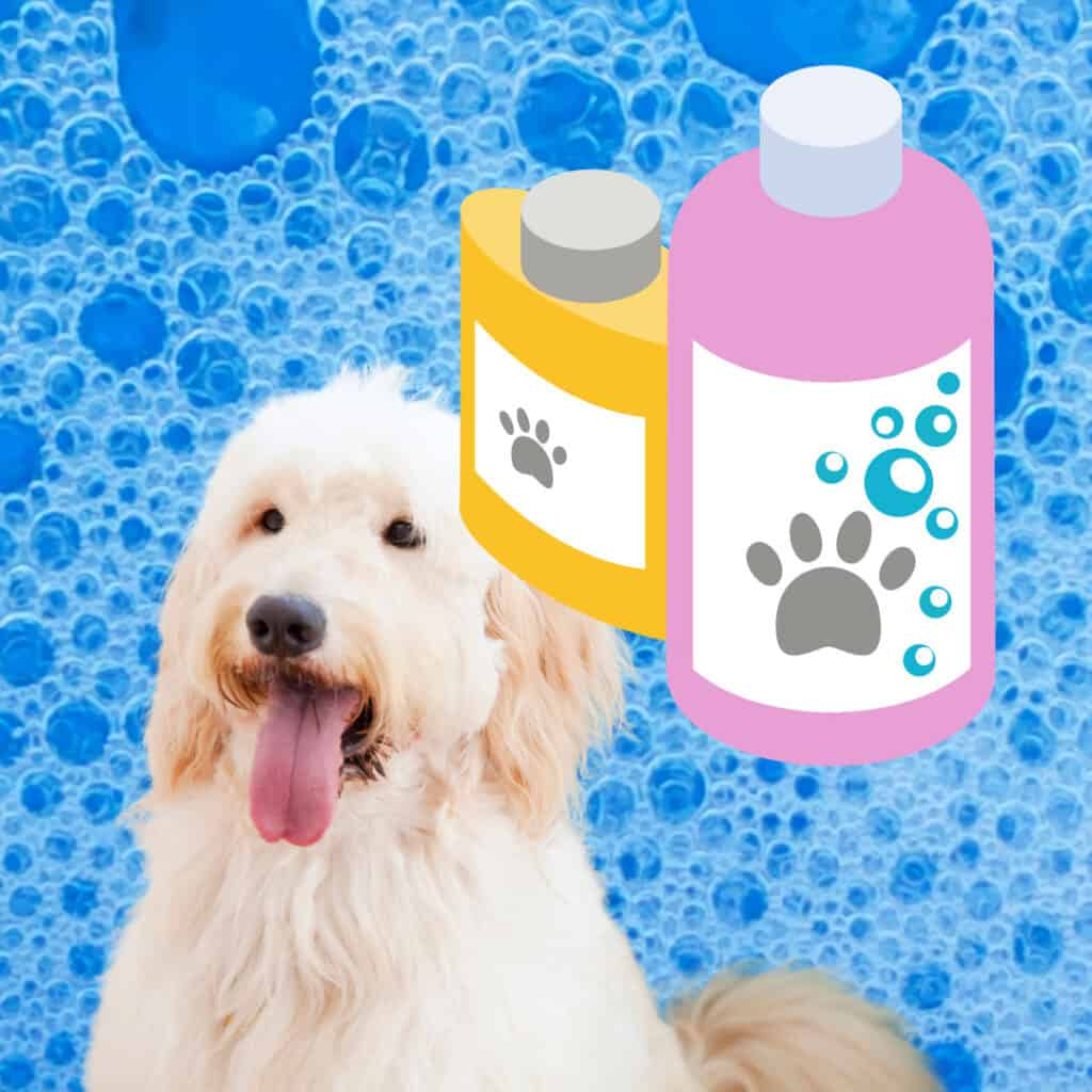 goldendoodle bath and shampoo