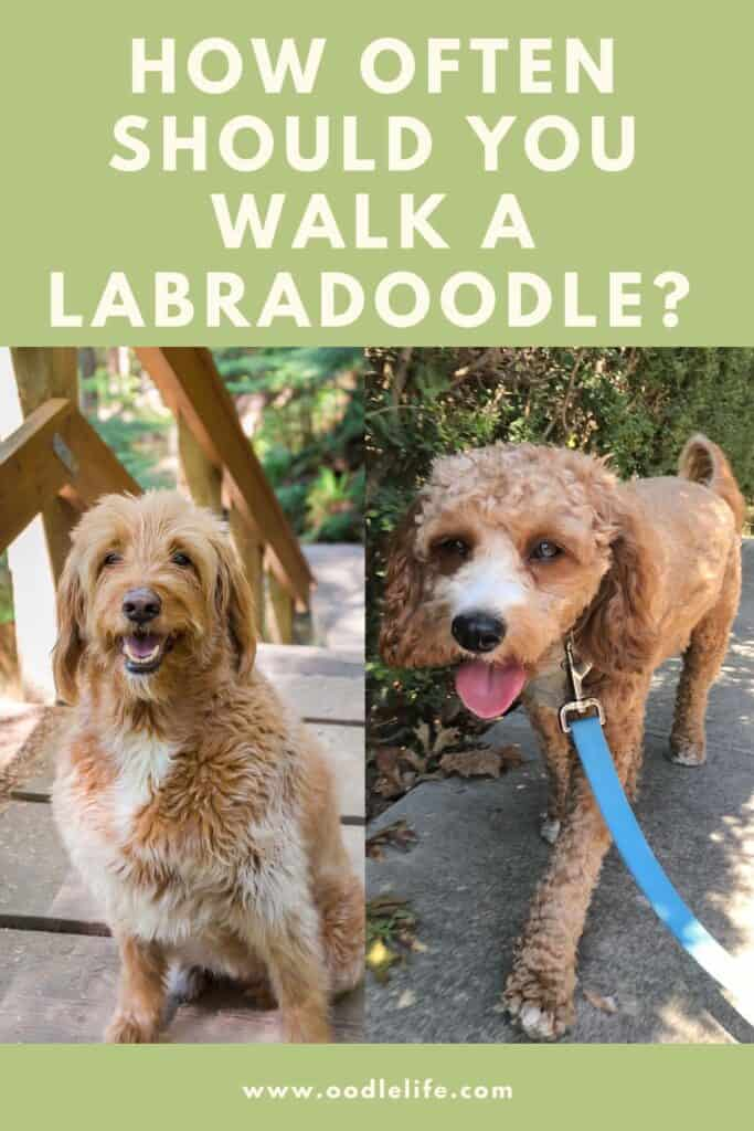 how often should you walk a labradoodle