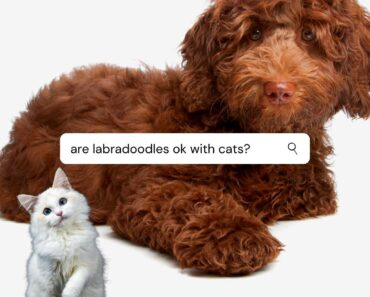 are labradoodles good with cats
