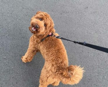 how long to walk a labradoodle puppy