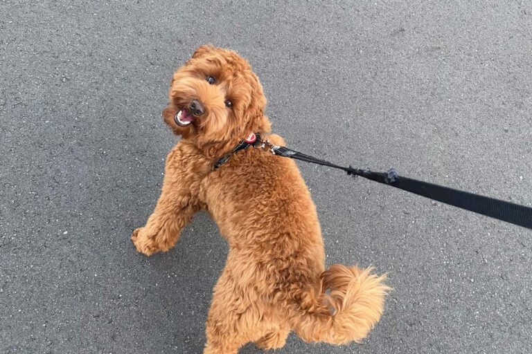 Best Labradoodle Rescues [9 Best USA and Canada]