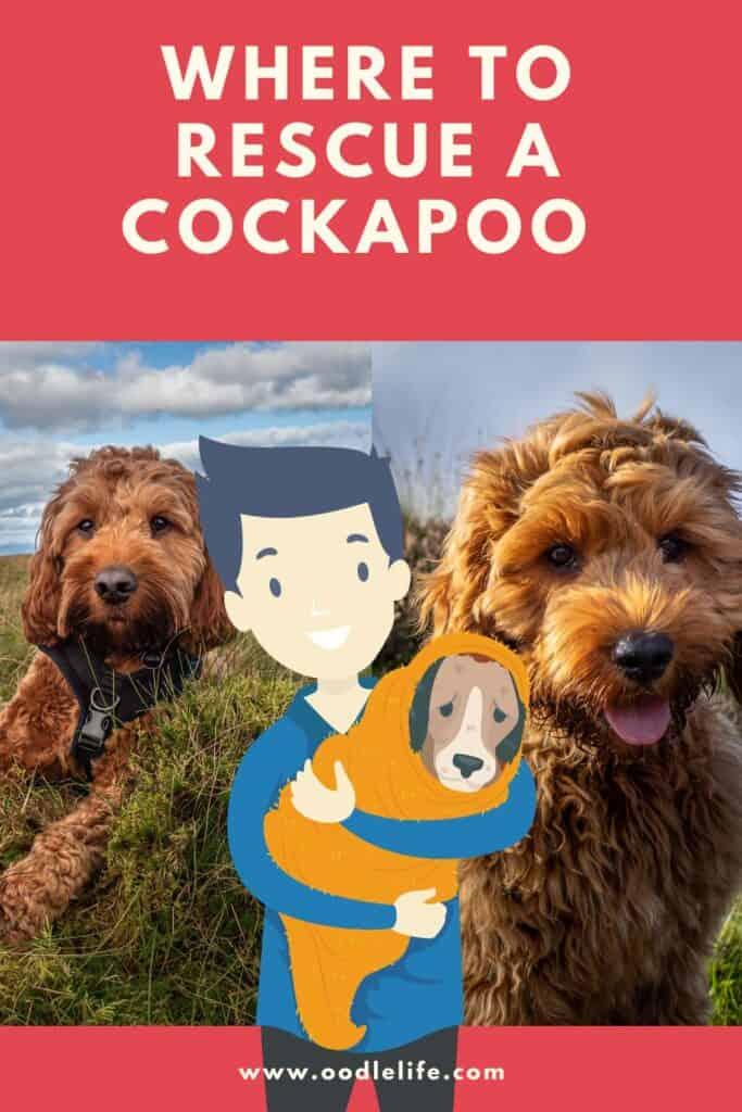 best cockapoo rescues
