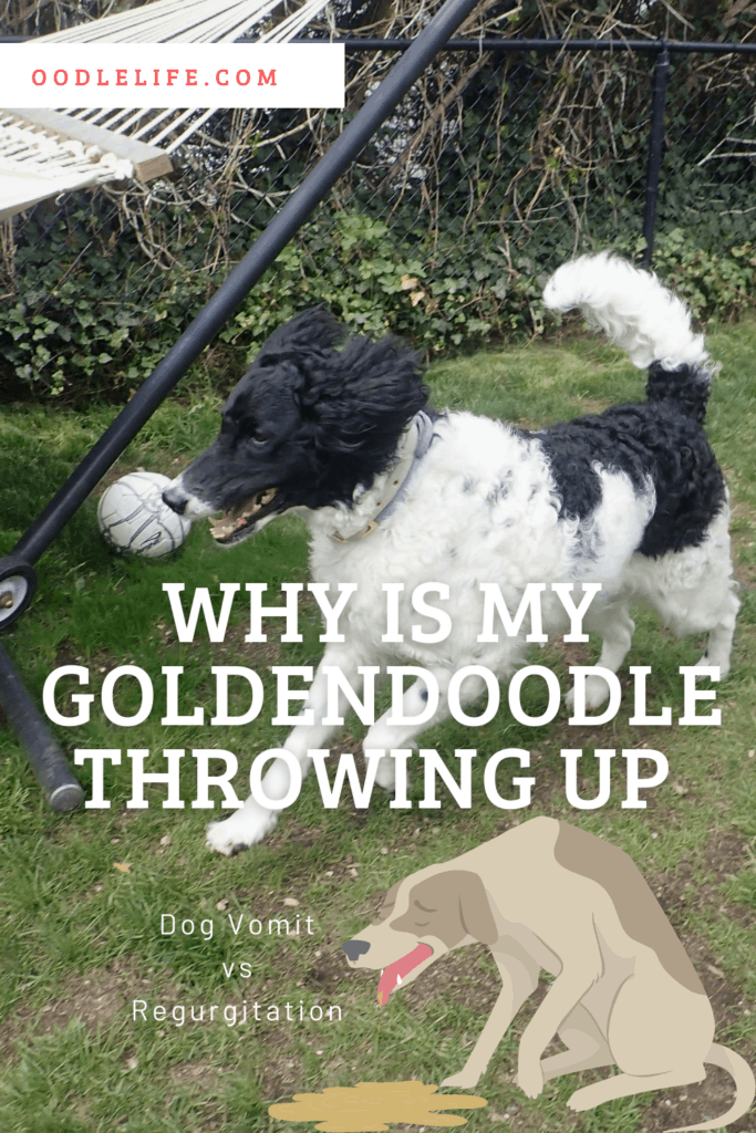 why is my goldendoodle throwing up