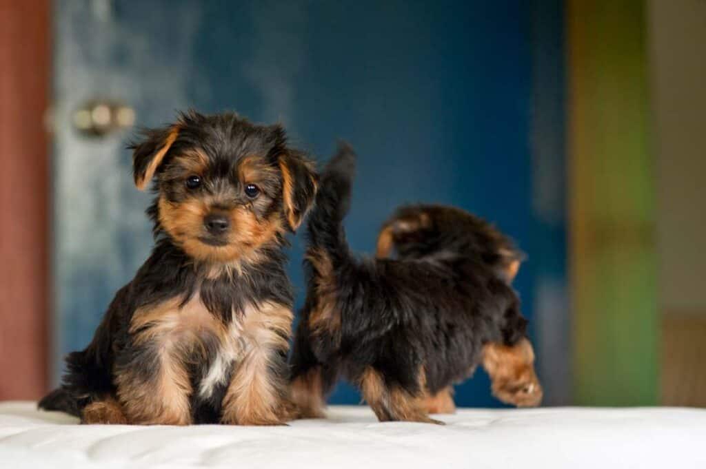 Best Food For Yorkies (5 Best Picks for Healthy Yorkshire Terriers) 1
