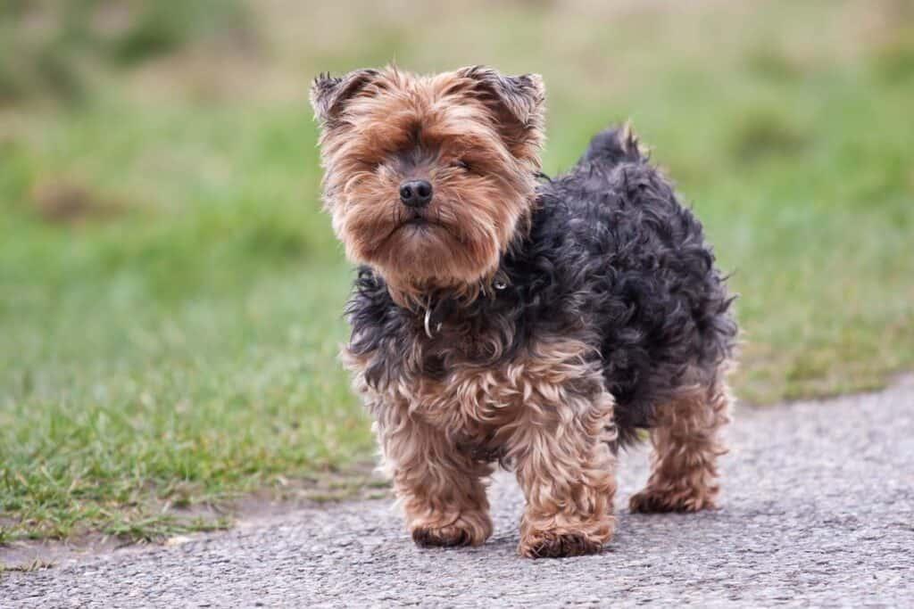 a Yorkie dog outside